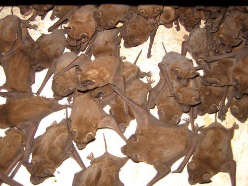 Mexican-freetail-bats