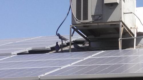 Pigeon love to nest under solar panels