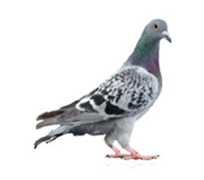 pigeon5